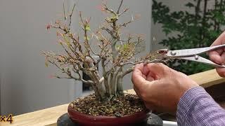 bonsai  maple  盆栽 楓 株立ち