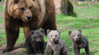 Веселые медведи   ТОП Подборка видео про медведей и забавных медвежат
