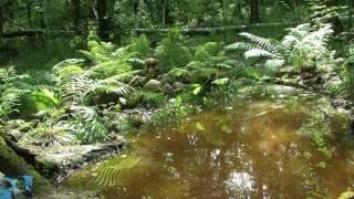 Звуки леса, пение лягушек