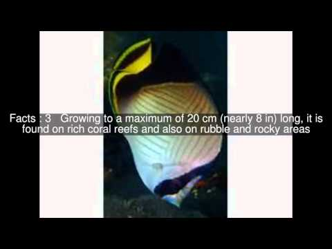 Indian Vagabond Butterflyfish Top  #9 Facts