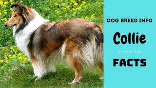 Collie dog breed. All breed characteristics and facts about Collie dogs
