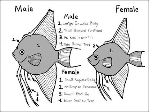 Deffrence between Male and female in Angel fish and