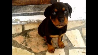 Rottweiler growing up