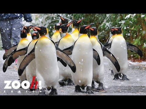 Zoo Zürich: Pinguinparade