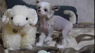 Продаётся щенок №6 китайской хохлатой собаки - девочка голая бронзово-белая.