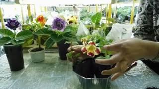 видео Сальпиглоссис - выращивание из семян, фото цветка