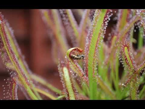 Equilibrio Carnivorous Plants Carnivorous Plant Timelapse