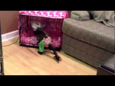 Capuchin Monkey Jorge Helps Take Care of His Puppy