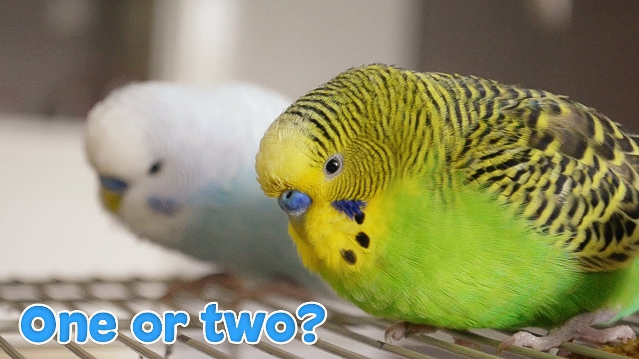 Budgies Archives | Fab Gifts For Family And Friends