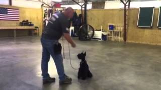 "Giant Schnauzer Puppy ""luna"" Early Obedience Training Dog For Sale"