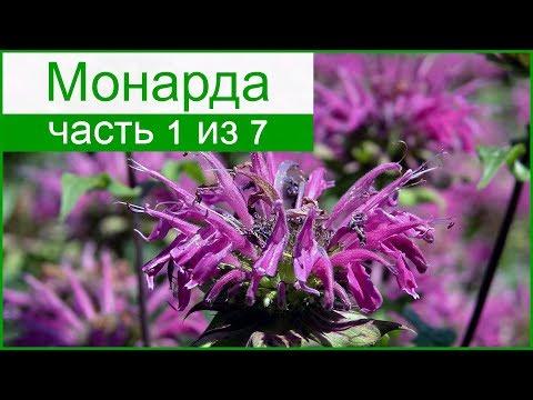 🌸 Монарда – описание цветка, история окультуривания