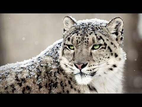 RARE SNOW LEOPARDS OF ASIA
