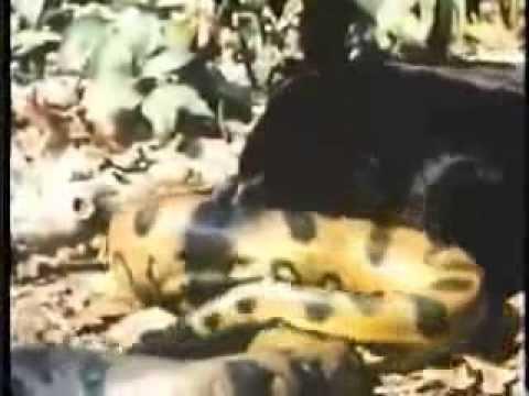 Báo đen giết trăn khổng lồ anaconda