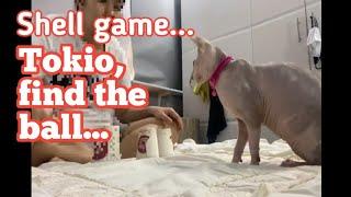 #Cat tricks (tokio playing shell game) #sphynx cat #hairless cat #nude cat #sphynx cat Philippines