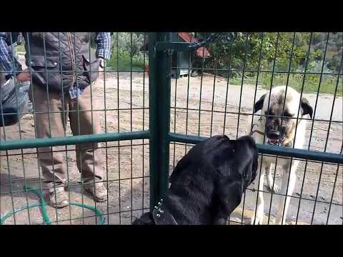 Sivas Kangal/Malaklı VS Cane Corso