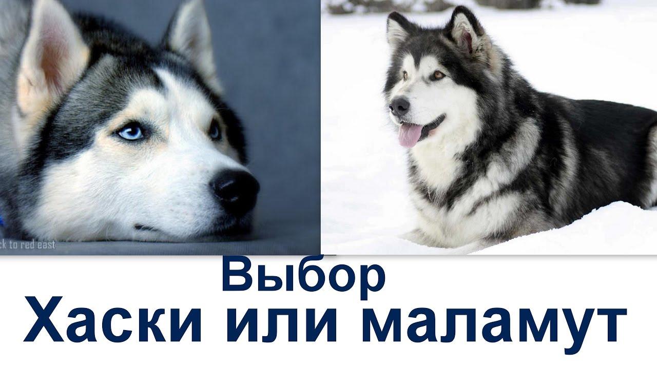 маламут как выбрать щенка