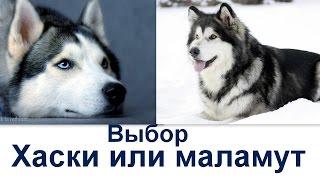 Кого лучше  взять  - маламут или хаски?
