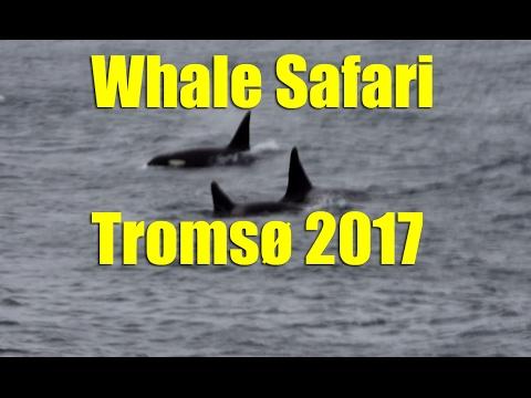 Whale Safari Tromso Day 2 January 2017