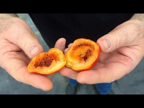 Томатное дерево в Воронеже. Выращиваем и пробуем плоды.