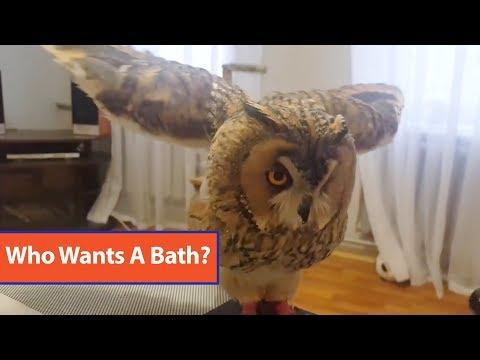 Owl Takes Bath With Spray Bottle