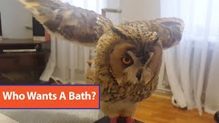Owl Takes Bath With Spray Bottle