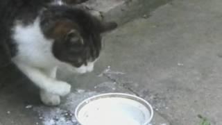 Кошка ест  молоко лапой