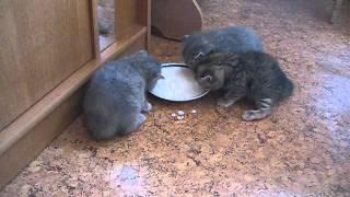 Котята скоттиш первое кормление