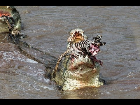 Crocs catch and eat zebra - incredible feeding behaviour!