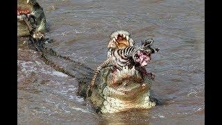 Repeat youtube video Crocs catch and eat zebra - incredible feeding behaviour!