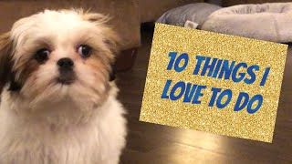 10 Things a Shih Tzu Puppy Loves to Do   16 Weeks Old