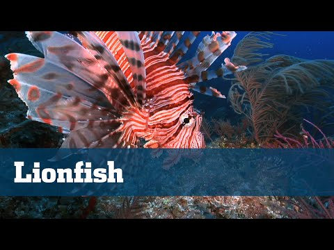 Florida Sport Fishing TV - Conservation Corner Lionfish Exotic Invasive Eliminate Reef Wreck