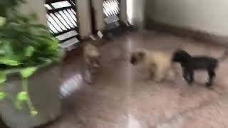 Pitbull Puppies For Sale In India 9350926445