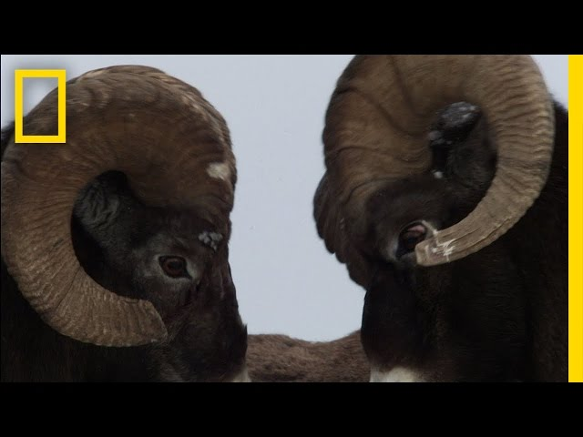 Untamed Americas - Big Horn Bash Travel Video
