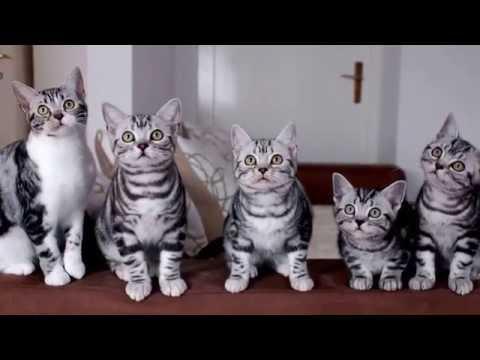 Порода кошек. Американская короткошерстная кошка