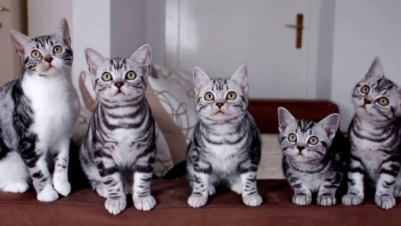 Картинки по запросу Американская жесткошерстная кошка