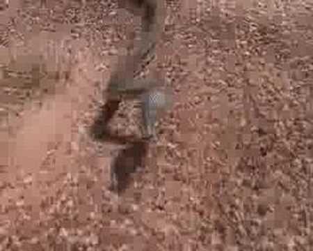 Don T Chase Brown Snakes Pseudonaja Nuchalis Youtube