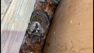 Well, Well! | Raccoon Removal From Window Well