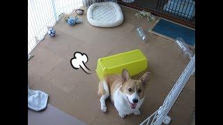 コーギーの小太郎です。 生後5ヶ月のころ。 おもちゃよりおもちゃ箱が好...