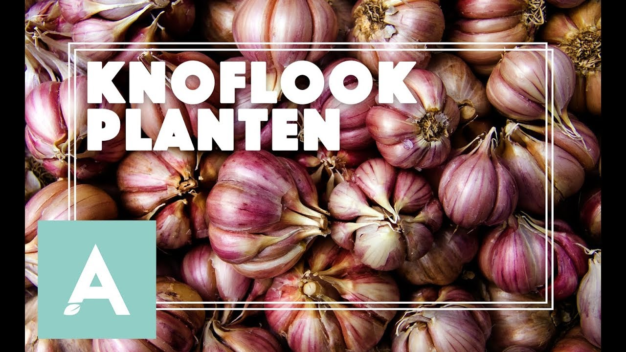 Knoflook Poten Tijd Om Knoflook Te Planten Grow Cook Eat 67