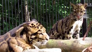 Дымчатые леопарды 30.08.17.Новосибирский зоопарк им.Р.А.Шило