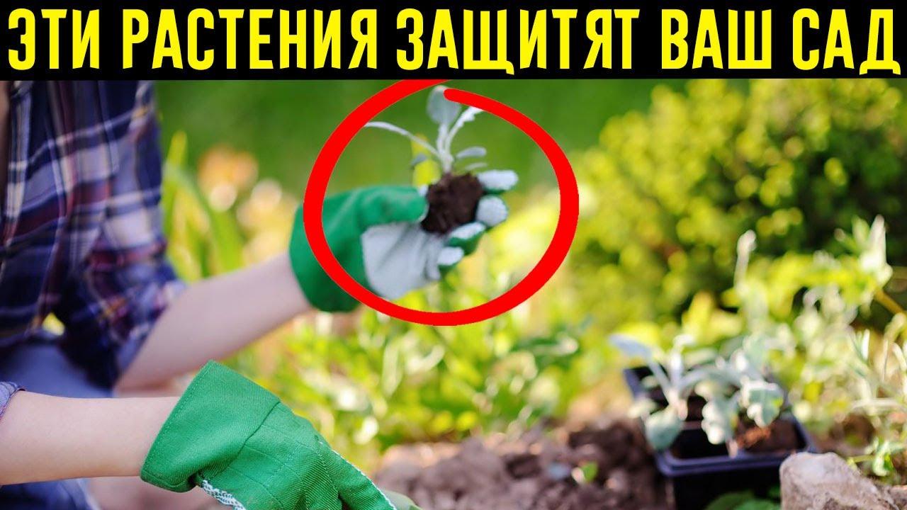 Растения Против Вредителей: Бархатцы, Мята И Еще 7 Цветов, Защищающих Сад!