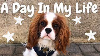 DAY IN THE LIFE | Cavalier King Charles Spaniel