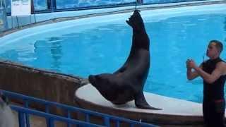 морской лев ( Крым Ялта) театр морских животных