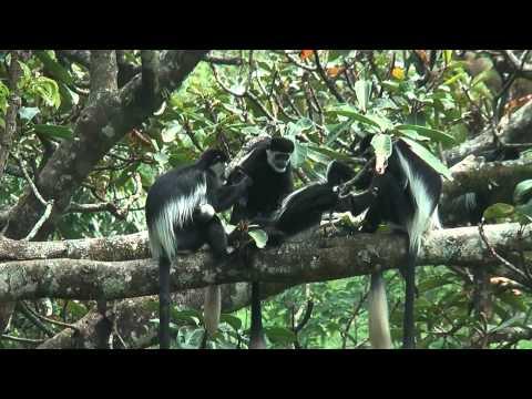 Colobus monkey sitting in the tree social grooming in Uganda