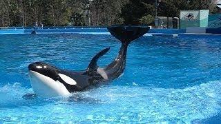 shamu up close killer whale training session behind the scenes seaworld orlando