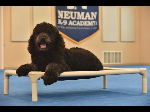 Sebastian (Standard Poodle) Boot Camp Dog Training Video Demonstration