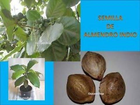 semillas de almendro