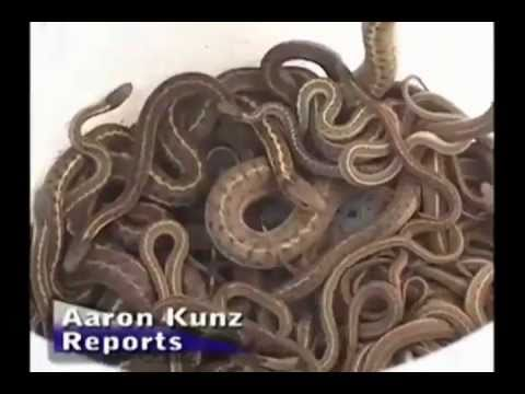 Snakes Infest Idaho House