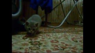 Британский котенок (помесь с экзотом)