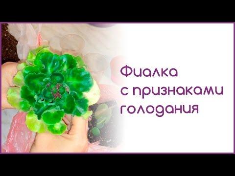 Фиалки - Энциклопедия цветов